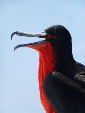 beak-bird-frigate-33669